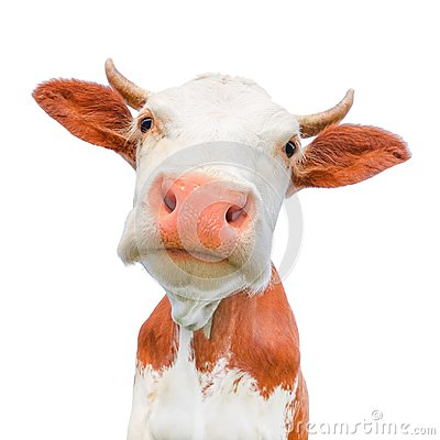 Funny cow looking at the camera isolated on white background. Spotted red and white cow with a big snout close up.