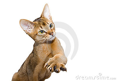 Young abessinier cat