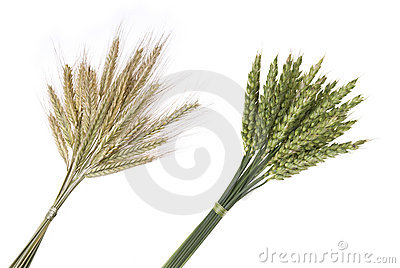 Bouquet of rye and wheat