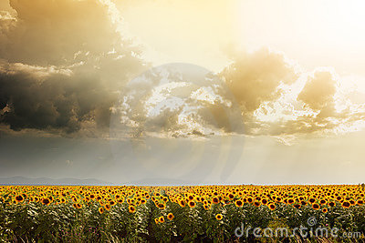 Sunflower field lit by the sun