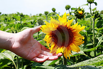 Sunflower pampered by young boys hand