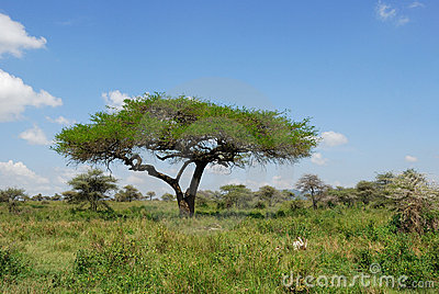 Umbrella acacia tree in the savannah