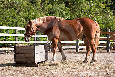 Large horse eating hay