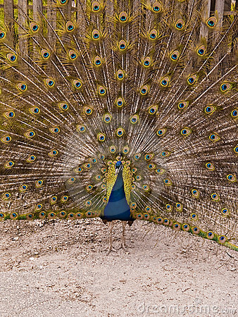 Peacock With Feather Expansion