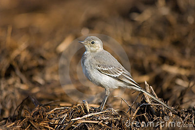 Standing wagtail