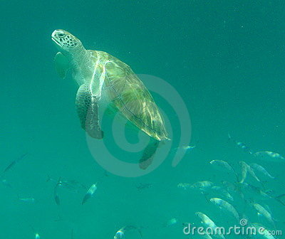 Surfacing Sea Turtle