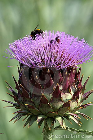 Purple cardoon flower