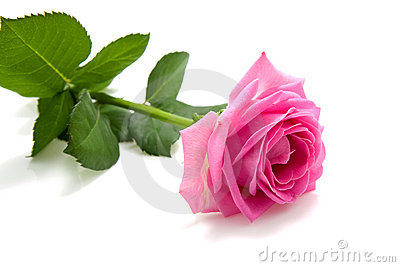 One single pink rose on white