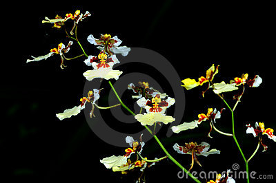 Group of white orchids