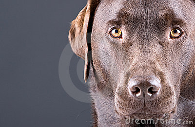 Stunning Chocolate Labrador against Grey