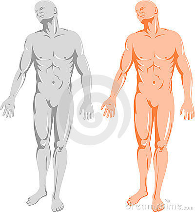 Male human anatomy front
