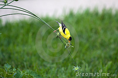 Goldfinch on a Stem