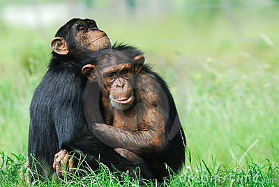 Two cute chimpanzees