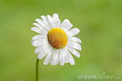 One Little Daisy