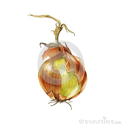 Watercolor onion. Hand drawn botanical illustration.