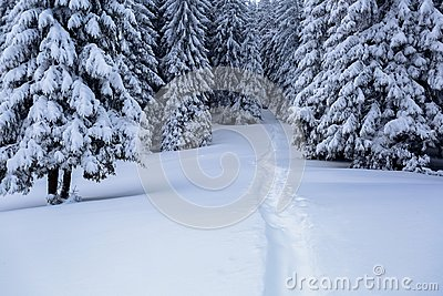 On the lawn covered with white snow there is a trampled path that lead to the dense forest.