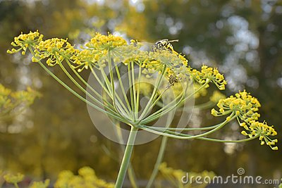 Dill with Wasp