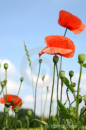 Red poppies and sky.