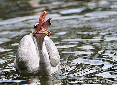 Pelican catching some fish