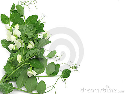 White blooms of a snow pea