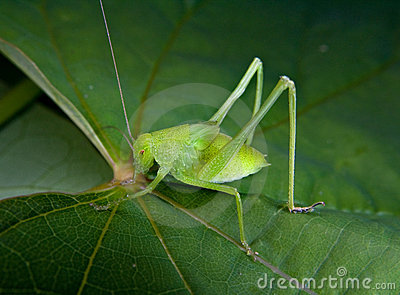 A Small Green Grasshopper