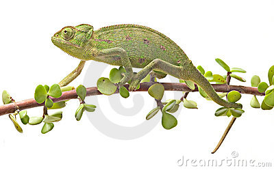 Chameleon walking on a twig