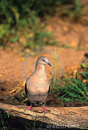 White-tipped Dove on Log