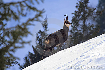 Chamois on a snowy slope