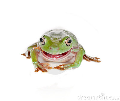 Eating tree frog