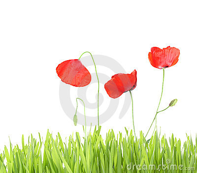 Poppy with grass isolated