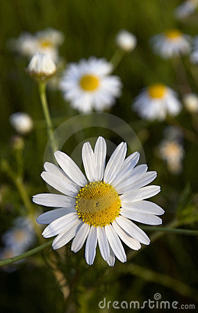Chamomile flowers closeup