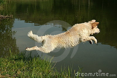 Jumping Golden Retriever