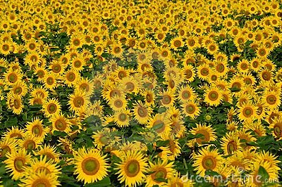Field with bright yellow sunflowers.