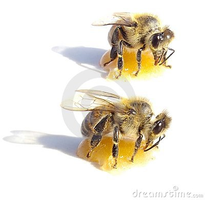 Two bees eating honey over white background