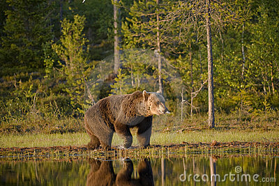 Bear walking along pond