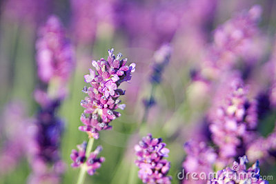 Lavender in summer with short depth of field