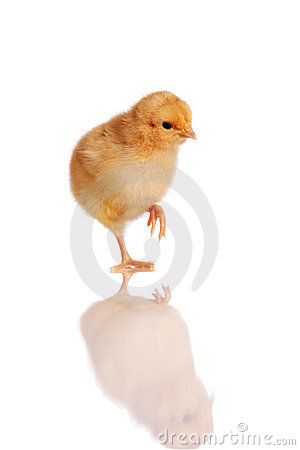 Chick standing isolated on white