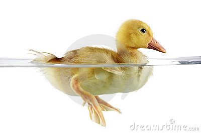 Cute duckling in water