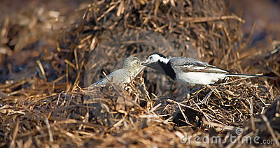 Wagtail lactescent chick
