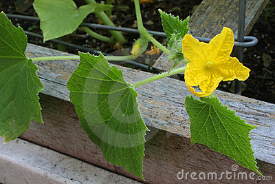 Garden Sweet Cucumber Flower