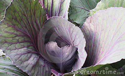 Young Red Cabbage Leaves