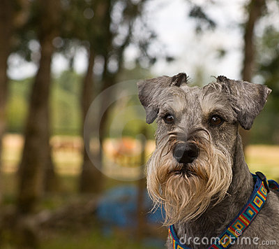 Intense looking miniature schnauzer dog