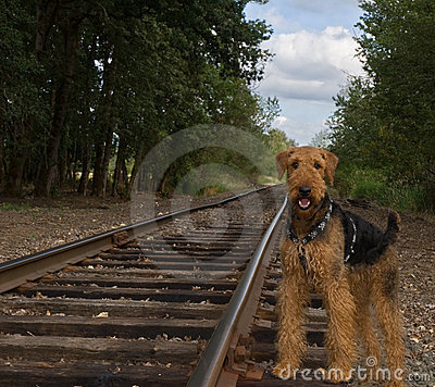 Airedale terrier dog stands beside rail road track