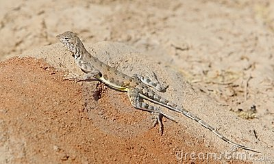 Zebra-tailed Lizard