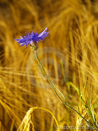 Cornflower in barley field
