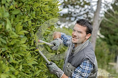 Man trimming side hedge with shears