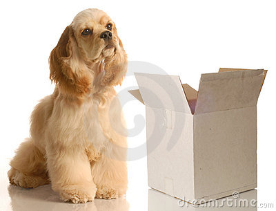 Cocker spaniel sitting by empty box