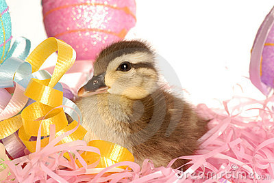 Baby duck at easter