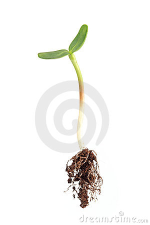 Sunflower sprout with root