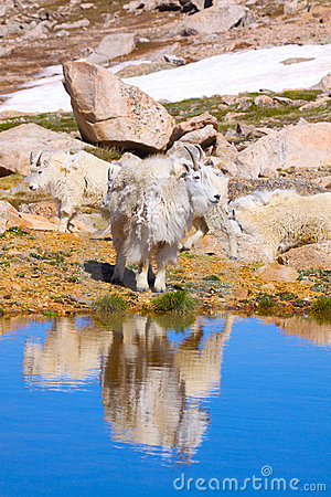 Mountain Goat Reflected in Pond
